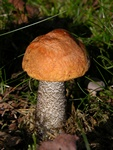 Orange Birch Bolete (Leccinum versipelle)
